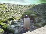Belfast Zoo Penguin